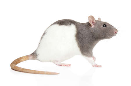 Rat on white background, side view