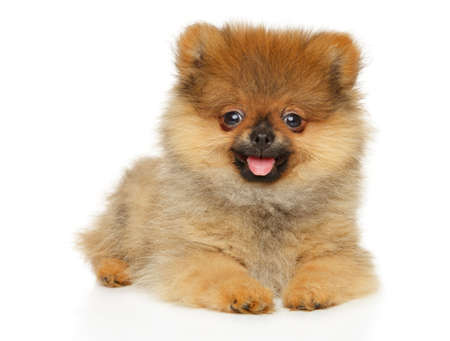 Cute Zwerg Spitz puppy looking at the camera lying on a white background Stok Fotoğraf