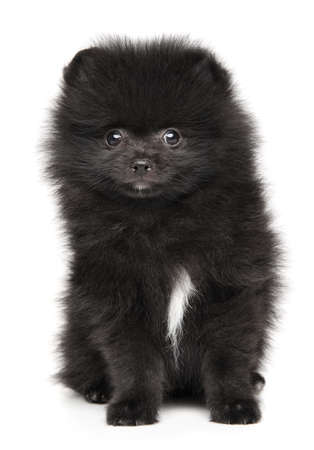Tiny Black Pomeranian Spitz puppy sits in front of white background, front view