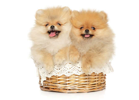 Two funny and happy Pomeranian puppies lie in a wicker basket on a white background