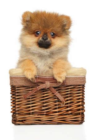 Funny Zwerg Spitz puppy sitting in a wicker basket on wite background Stok Fotoğraf