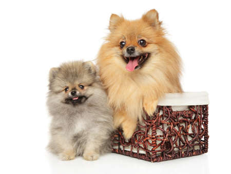 Two Pomeranian in mom and puppy in wicker basket on white background
