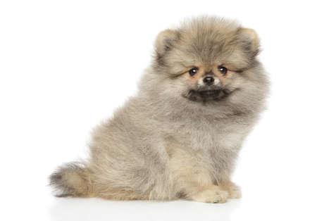 Zwerg Spitz puppy, sits in front of white background. Baby animal theme