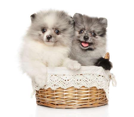 Two happy Pomeranian puppies in a wicker basket on a white background Stok Fotoğraf