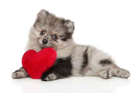 Charming Pomeranian Spitz puppy with red Valentine heart lying on a white background. Animal themes