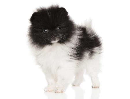 Zwergspitz puppy on a white background. The theme of baby animals