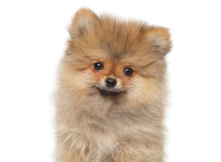 Spitz puppy posing on white background, front view Imagens