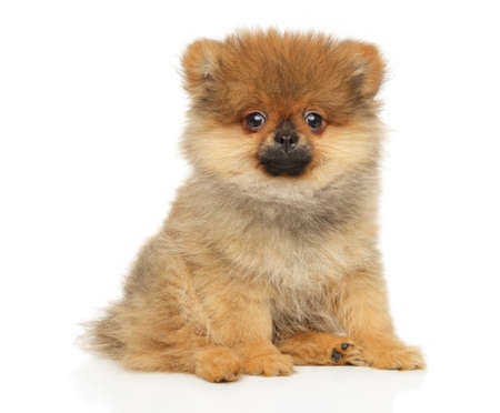 Cute ZwergSpitz puppy sits in front of white background. Baby animal theme Stok Fotoğraf