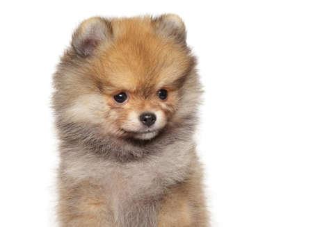 Nahaufnahmeporträt eines Pomeranian Spitzwelpen auf weißem Hintergrund. Das Thema Tierbabys