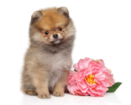 Pomeranian Spitz puppy with pink peony on white background, front view. Animal themes