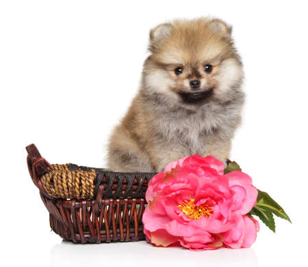Pomeranian Spitz puppy with pink flower sits in wicker basket on white background