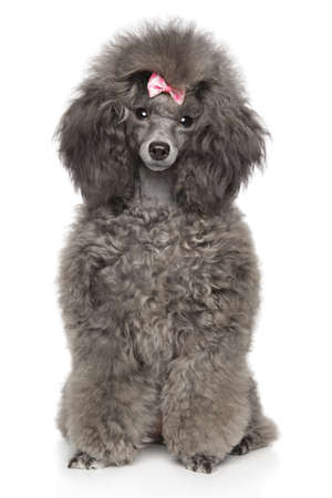 Cute young Toy Poodle sits in front of white background, front view