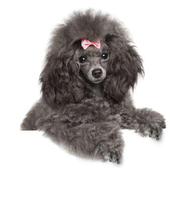 Young Toy Poodle above banner on white background Stock Photo
