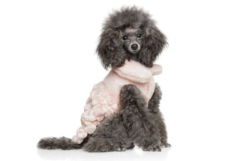 Young Grey Toy Poodle sitting in fashionable dog clothes on a white background, side view