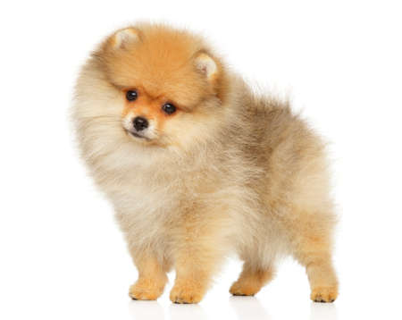 Pomeranian Spitz puppy in standing posing on white background. The theme of baby animals