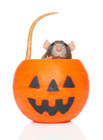 Close-up of a Decorative Rat in orange Halloween candlelight, front view