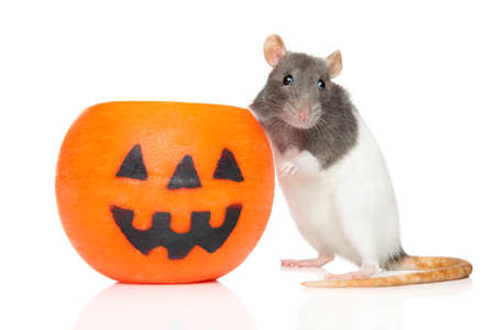 Decorative rat sits near orange Halloween candlelight on a white background Zdjęcie Seryjne
