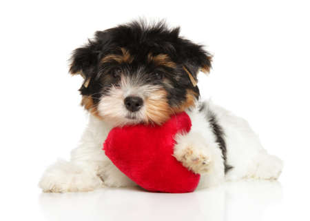 Beaver York Terrier lies on a white background with a toy in the shape of a red heart,