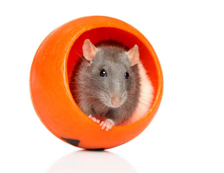 Decorative rat sits in orange Halloween candlelight, isolated on white background. Animal themes