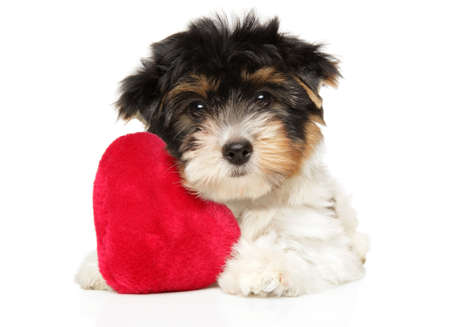 Biewer Terrier puppy lies on a white background with a toy in the shape of a red heart.