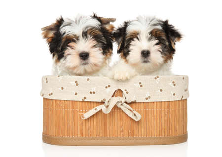 Cute Biewer Terrier puppies looking at the camera sitting in basket on a white background