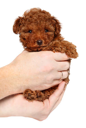 Man holds Toy Poodle puppy in hands, on white background. The theme of baby animals 版權商用圖片