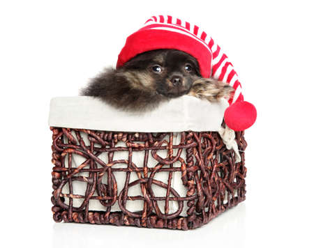 Spitz puppy sits in a wicker basket in a Christmas red riding Hood