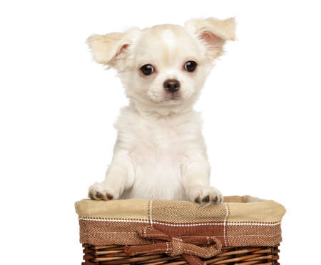Portrait of a cute, Chihuahua puppy in basket on a white background. Baby animal theme