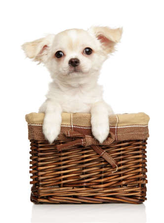Portrait of a young Chihuahua puppy in wicker basket on a white background