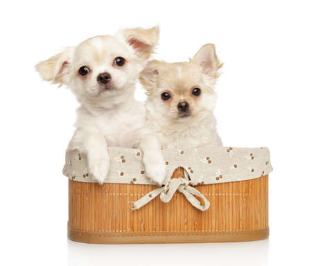 Portrait of two Chihuahua puppies in a basket on a white background
