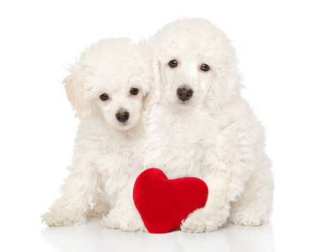 Two adorable poodle puppies sit with a red Valentine heart on a white background