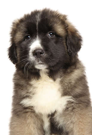 Caucasian Shepherd puppy Close-up portrait on a white background
