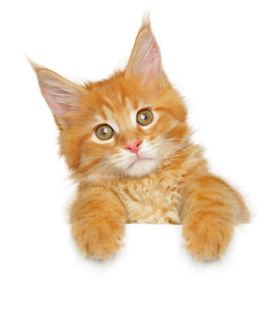 Maine coon kitten above banner, isolated on white background