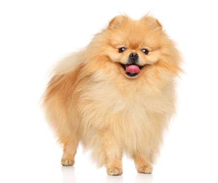A happy Pomeranian Spitz stands on a white background