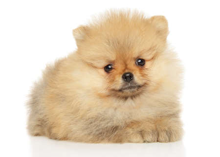 Cute Pomeranian puppy lying on a white background. The theme of baby animals