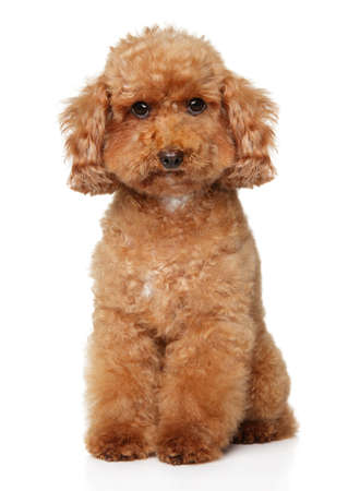 Portrait of a young dwarf Poodle dog on a white background