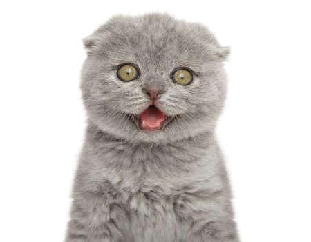 Scottish fold kitten, isolated on a white background. Baby animal theme