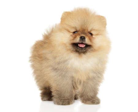 Pomeranian puppy on a white background. Baby animal theme Stock Photo