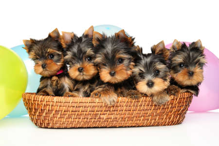 Group of Yorkshire Terrier puppies in a wicker basket on a white background