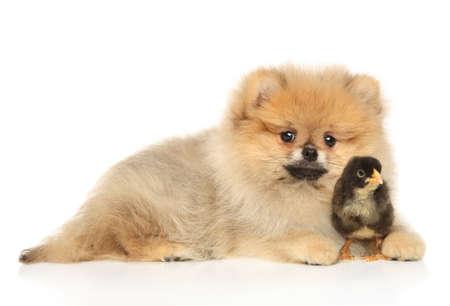 Pomeranian Spitz puppy with a black chick lying on a white background. 免版税图像