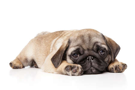 Sad Pug puppy resting on a white background