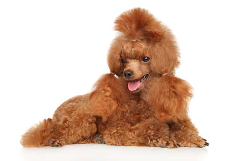 Charming Red Toy Poodle lying on a white background
