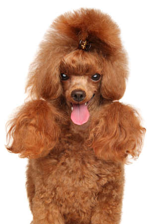 Close-up of a Red Toy Poodle, isolated on white background
