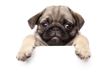 Pug Puppy above banner, isolated on white background