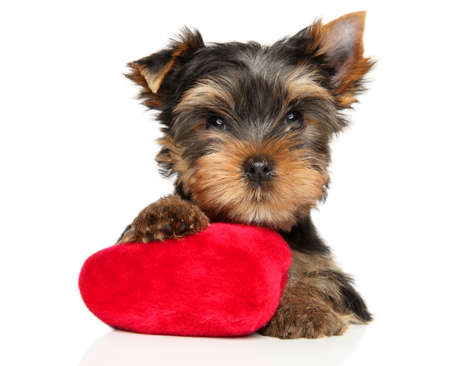 Yorkshire Terrier puppy with a red plush toy in the shape of a heart lies on a white background