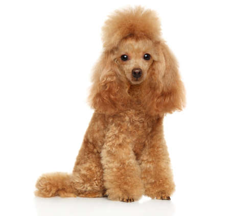 Red poodle sitting on a white background