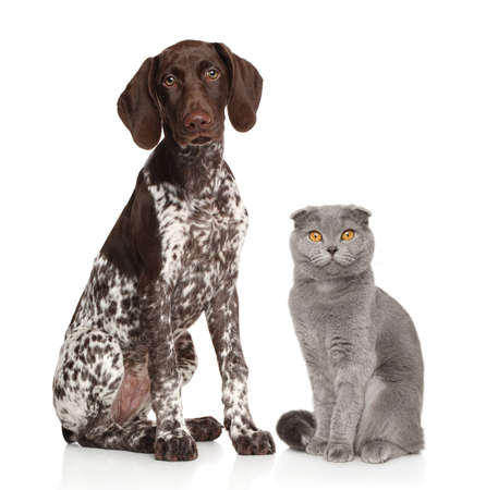 Cat and dog sit together on a white background. German Kurzhaar and British Scottish fold