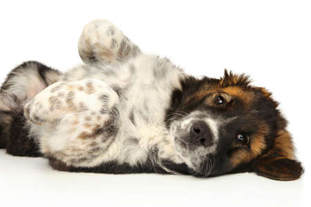 A happy Caucasian Shepherd puppy resting on a white background
