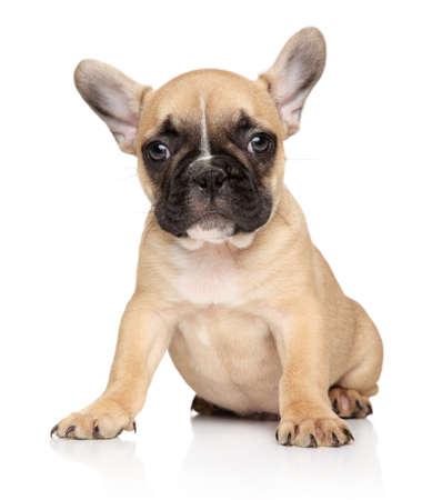 Portrait of a French bulldog puppy on a white background Stockfoto