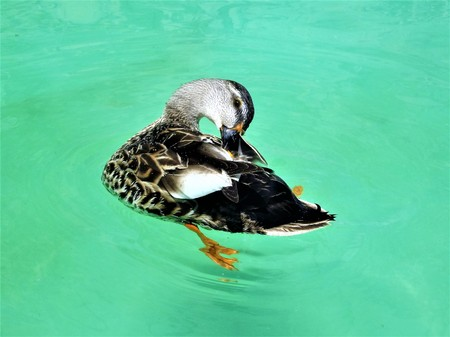 Duck female (Anas Platyrhynchos) Stock Photo